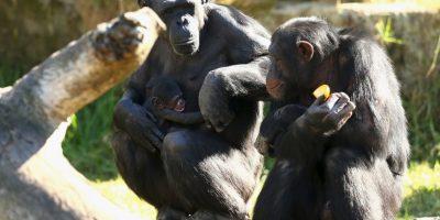 Según investigaciones científicas, tienen la paciencia para esperar por su alimento. Foto:Getty Images