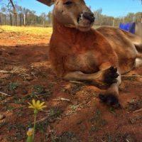Foto:Vía Facebook.com/kangaroosanctuary