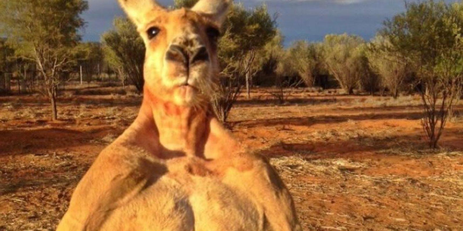 Mide 2.10 metros (6.9 pies) Foto:Vía Facebook.com/kangaroosanctuary