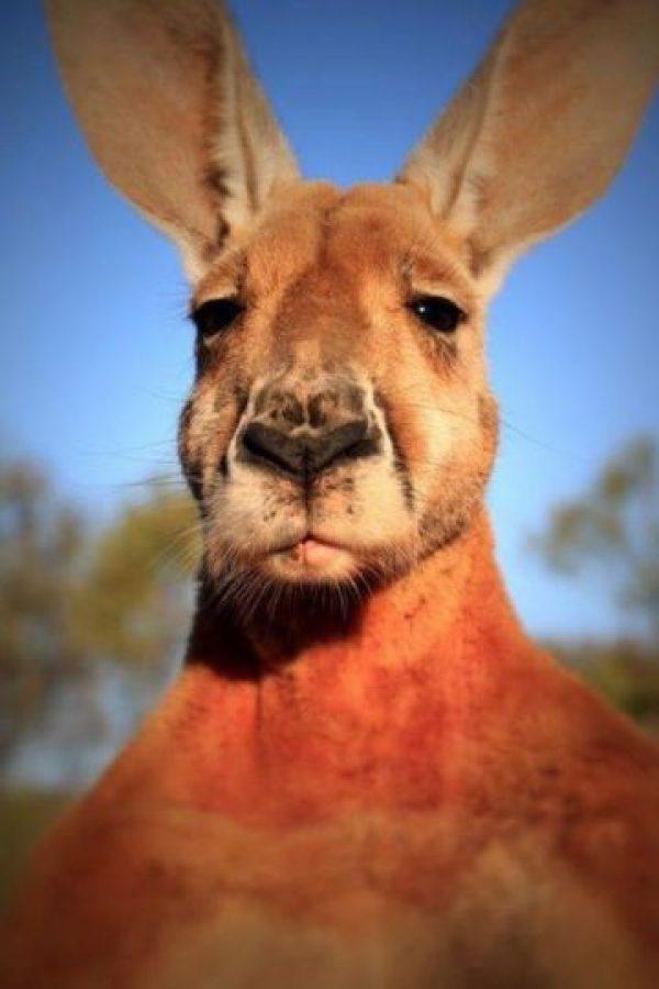 La esperanza de vida de los canguros puede llegar a los 22 años, así que este canguro podrá seguir aumentando su musculatura. Foto:Vía Facebook.com/kangaroosanctuary