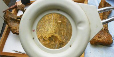 La especie a la que perteneció este cráneo vivió hace unos 70 millones de años. Foto:Getty Images