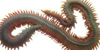 7. Neirididade. Es otro gusano submarino. Foto:vía RealMonstruosities