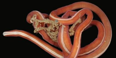 10. Gusano nemerteano: vive bajo las aguas de la Antártida. Es carroñero y se come cualquier cosa que encuentre. Foto:vía RealMonstruosities