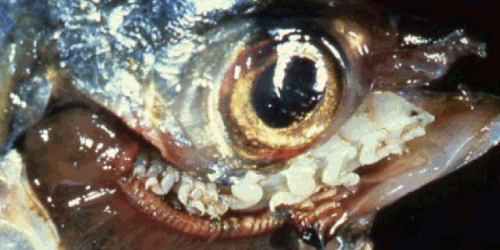 Es un parásito que vive en las lenguas de los peces. Bebe la sangre de esta parte de su cuerpo y la desintegra. Foto:vía RealMonstruosities