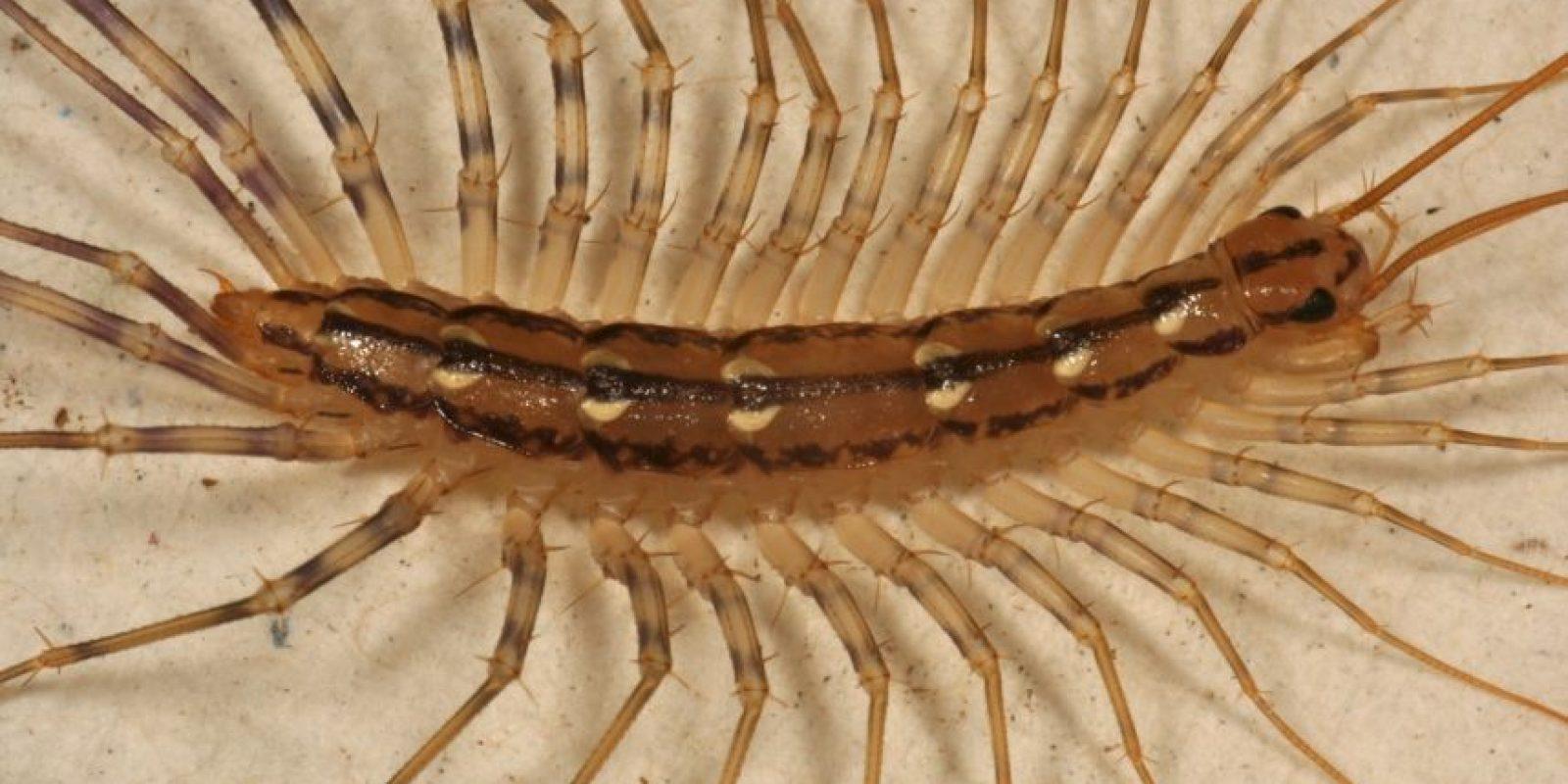 Es depredador de otros insectos. Foto:vía Wikipedia