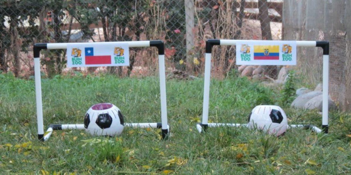 Zincha, el zorro que pronostica los resultados de la Copa América 2015
