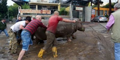 Muchos voluntarios ayudaron a recolectar a los animales que escaparon. Foto:AFP