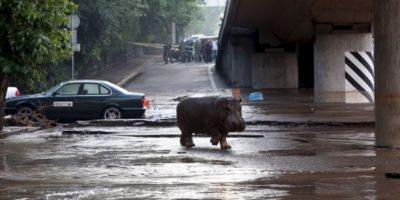 Muchos de los animales ya fueron recolectados y puestos en lugares no afectados del zoológico. Foto:AFP