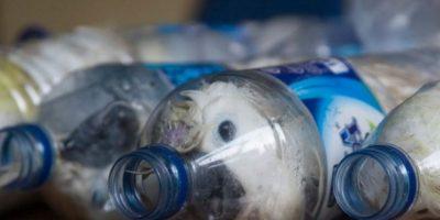 Varias cacatúas son embotelladas para que trafiquen con ellas en el mercado negro. La mayoría se ahogan. Foto:vía Barcroft Media