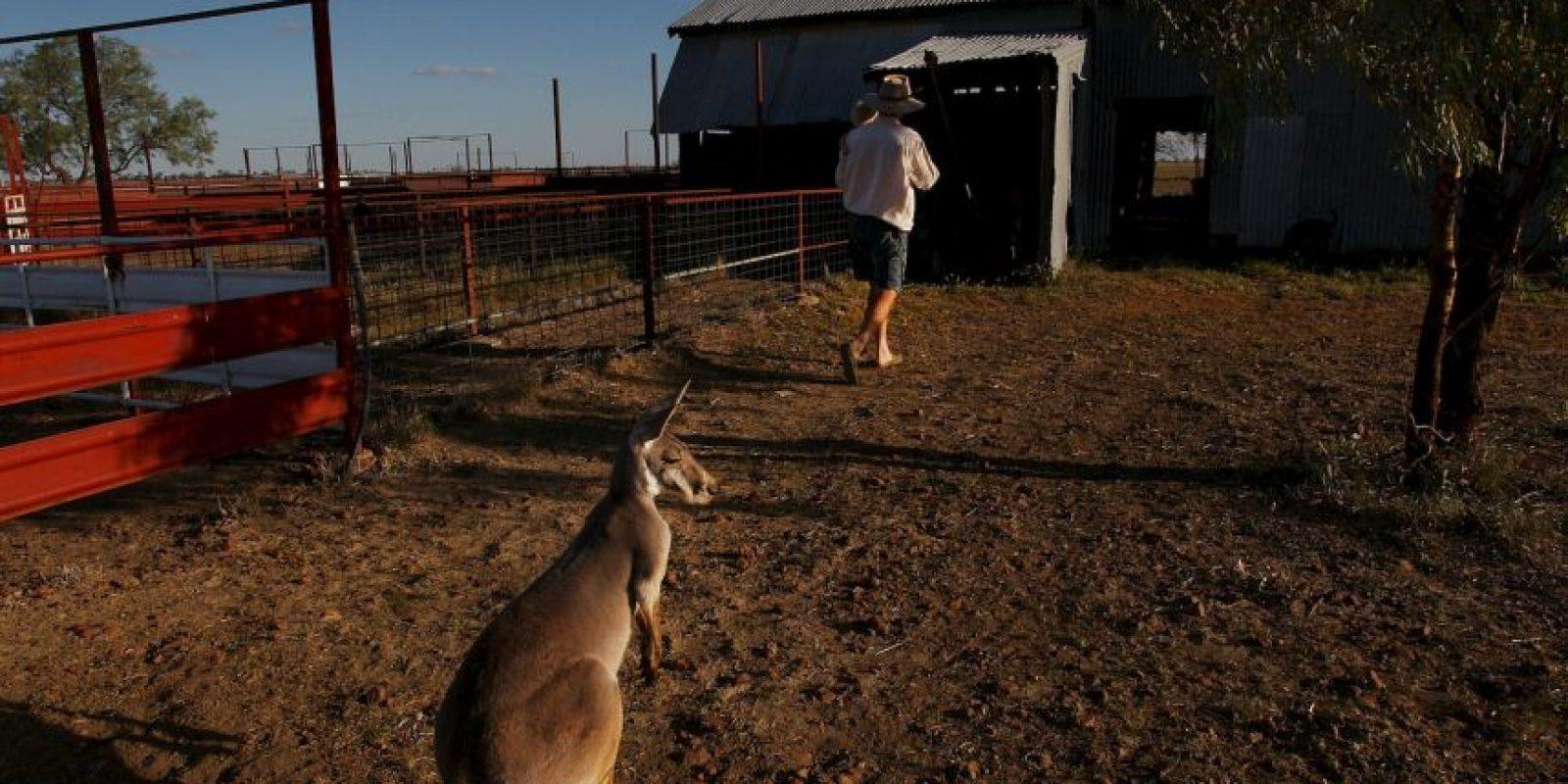 Esto mamíferos prefieren moverse con su pata izquierda. Foto:Getty Images