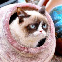 Se conoció que sólo el 36% de los encuestados se definieron como personas amantes de los gatos. Foto:Vía Instagram/@realgrumpycat