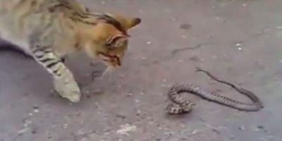 Gato contra serpiente Foto:Vía Youtube