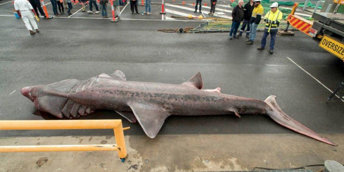 Capturan a una rara especie de tiburón en Australia