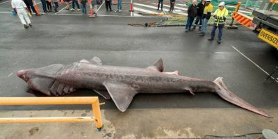 Capturan accidentalmente a un tiburón peregrino, cerca de Portland Australia. Foto:Vía facebook.com/museumvictoria