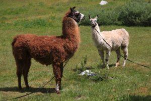 """4.- Adquirió dos llamas, las cuales bautizó como """"Luis"""" y """"Lola"""" Foto:wikipedia"""