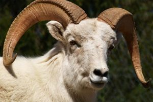 "5.- Tenía un carnero como mascota. Su nombre fue ""Sr. Tibbs"" Foto:wikipedia"