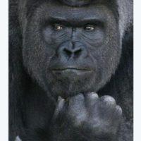 Llega esto. No, no se llama King Kong. Se llama Shabani. Foto:vía Twitter