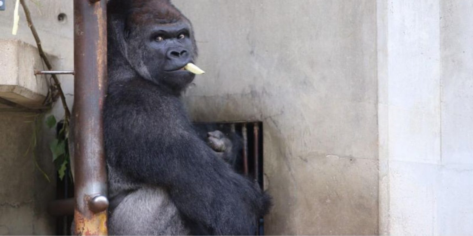 Vive en el zoológico Higashiyama. Foto:vía Twitter