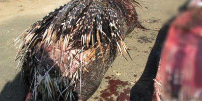 Por supuesto, el animal activó su mecanismo de defensa y desplegó sus espinas. Foto:vía Facebook/Parque Eland
