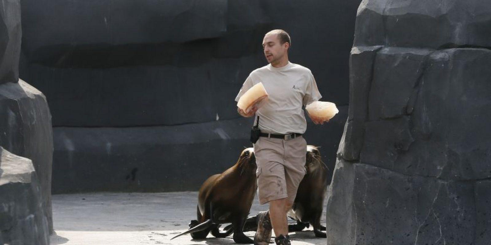 Un cuidador zoológico distribuye los alimentos congelados. Foto:AFP