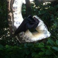 Tardó 30 minutos en deglutir un muerciélago de gran tamaño Foto:Vía Facebook Sunshine Coast Snak Catchers