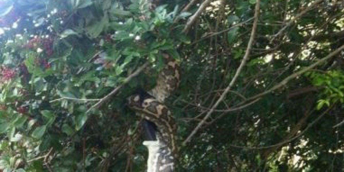 FOTOS: El tamaño de esta serpiente los impactará