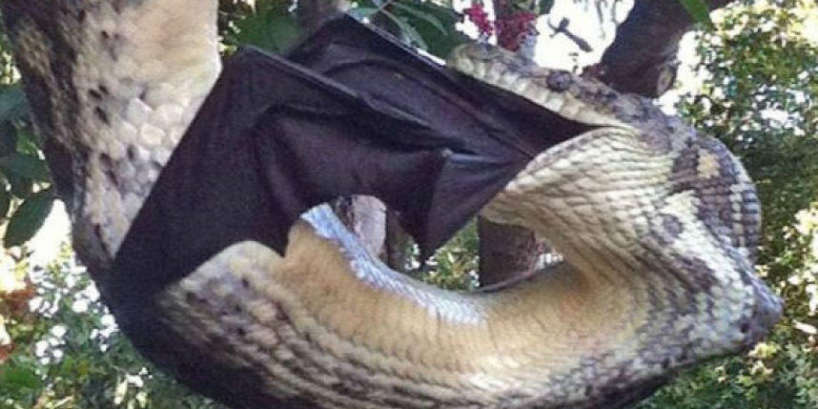 El pitón es una serpiente de gran tamaño que se alimenta de animales a los que mata por asfixia rodeándolos con su cuerpo. Foto:Vía Facebook Sunshine Coast Snak Catchers