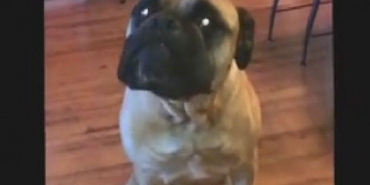 VIDEO: Increíble, perro señala a su compañero para culparlo de travesura