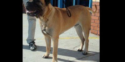 El bullmastiff es una raza británica de perro que, según se cree, procede del cruce entre el mastín inglés y bulldogs Foto:Wikicommons