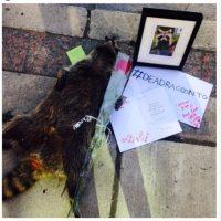 Pero el mapache seguía ahí. Entonces las personas comenzaron a utilizar el hashtag #DeadRaccoonTO para hablar del tema Foto:Instagram.com/emilyjs5