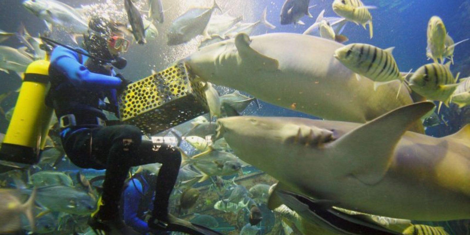 De acuerdo a National Geographic, ha disminuido el riesgo de ser atacado por uno de estos animales. Foto:Getty Images