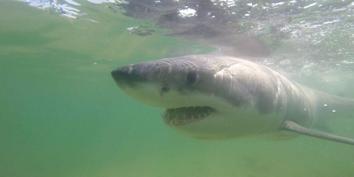 VIDEO: El impresionante rescate de un tiburón blanco en Estados Unidos