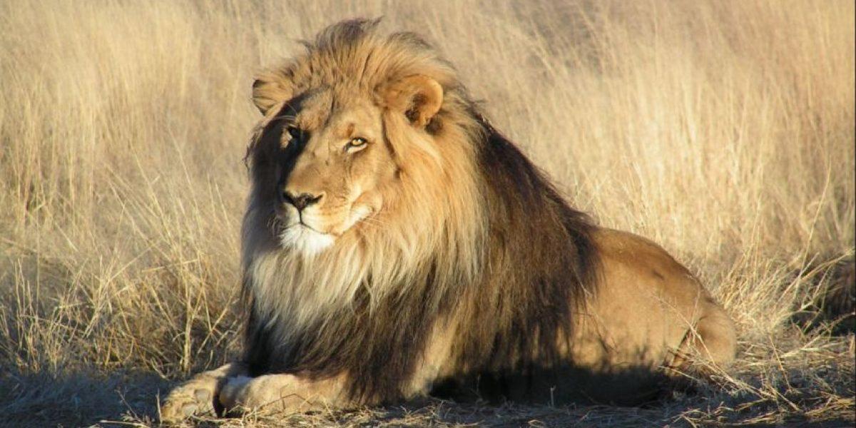 Así fue que Walter Palmer mató a Cecil, el león más famoso del mundo