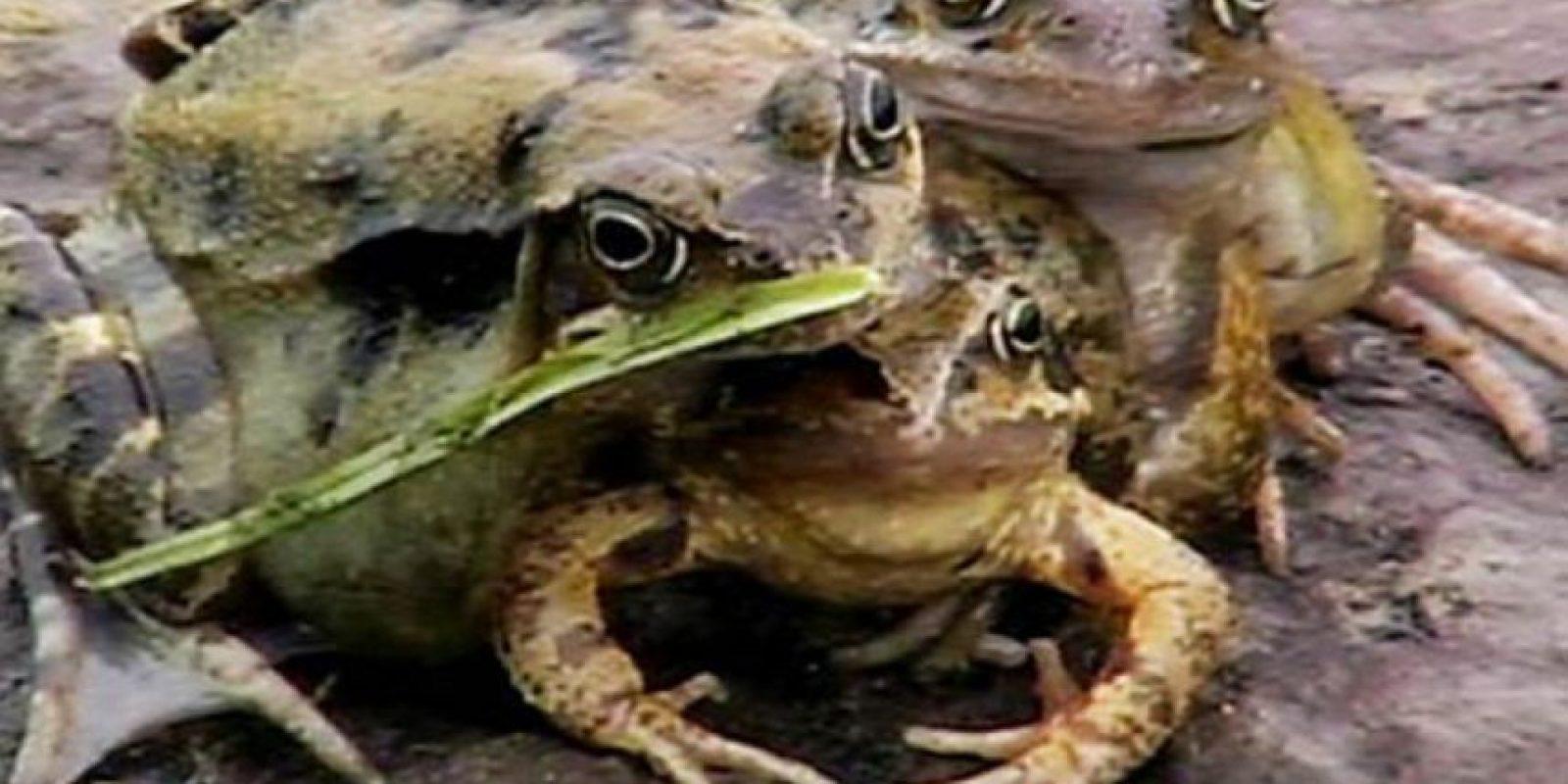 """Esta rana se llama """"Froggy"""" y tiene tres cabezas. Foto:vía Animal Planet"""
