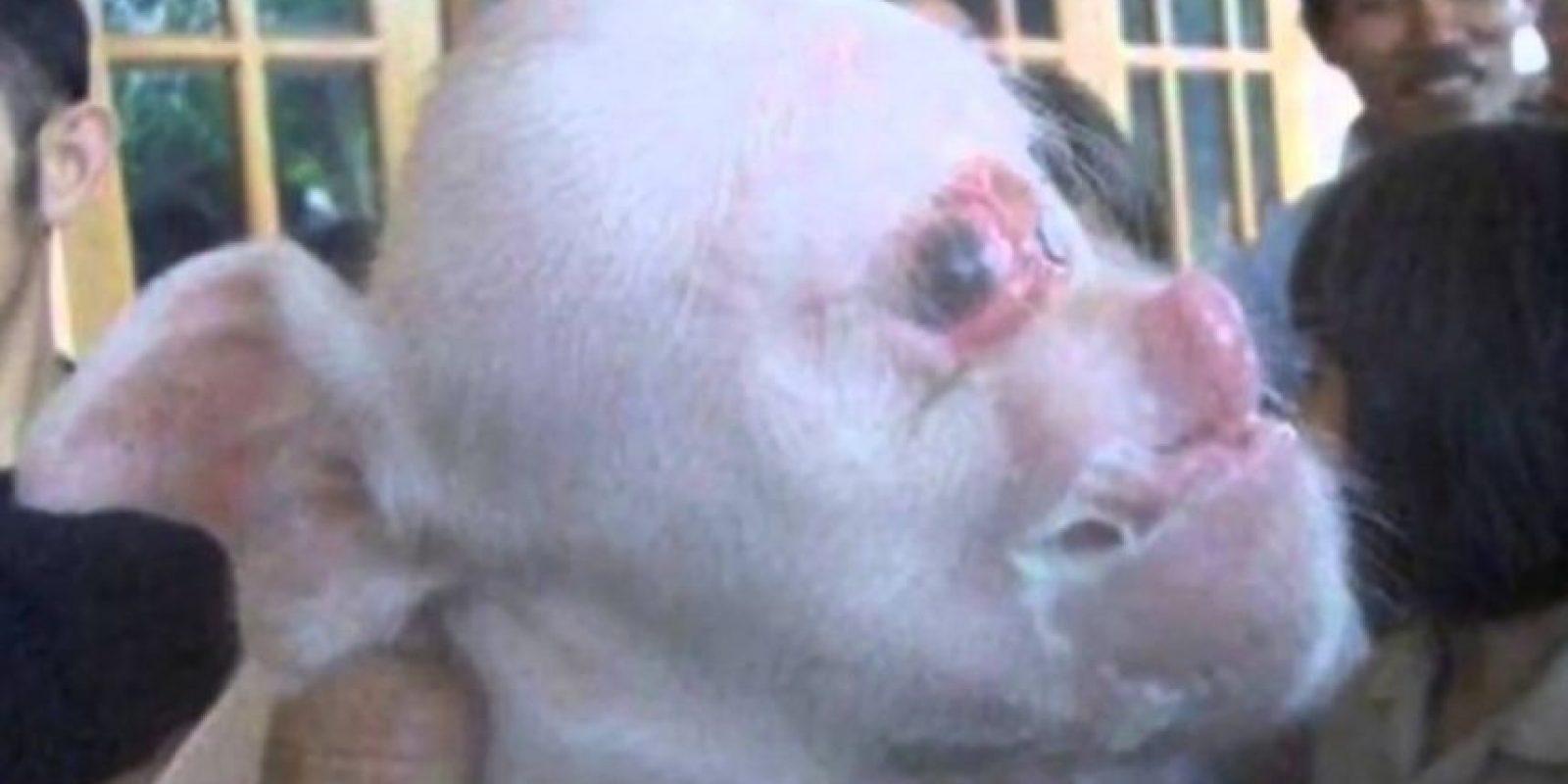 """El """"cerdo/ mono"""" nació en China el año pasado y tenía holofroncefalia. Nació en en el campo y su familia quería matarlo, pero luego se convirtió en una atracción hasta que murió. Foto:vía Wildlife.com"""