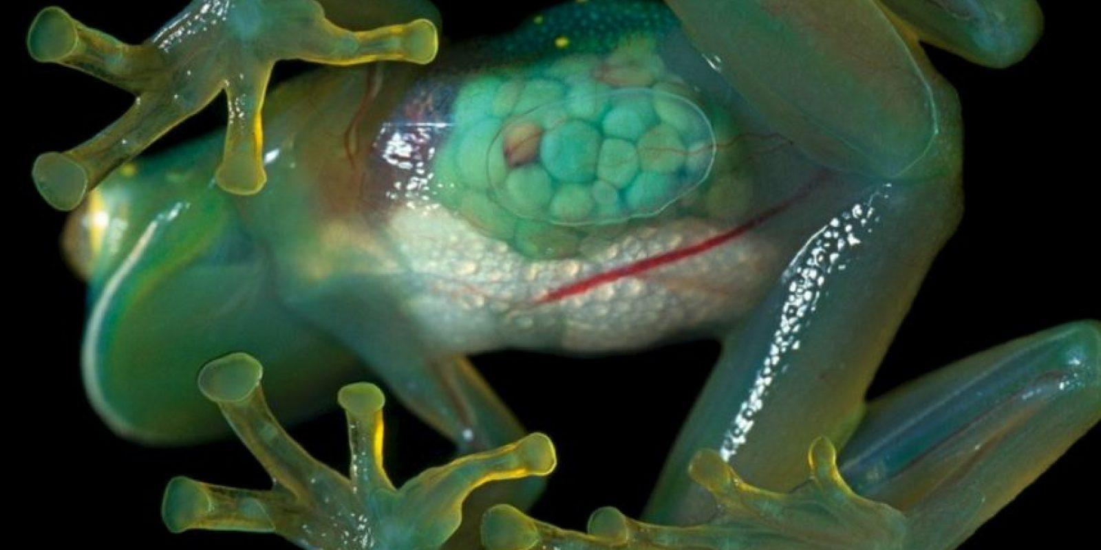 Las ranas transparentes fueron creadas en Hiroshima para ver sus órganos internos. Foto:vía Wildlife. com
