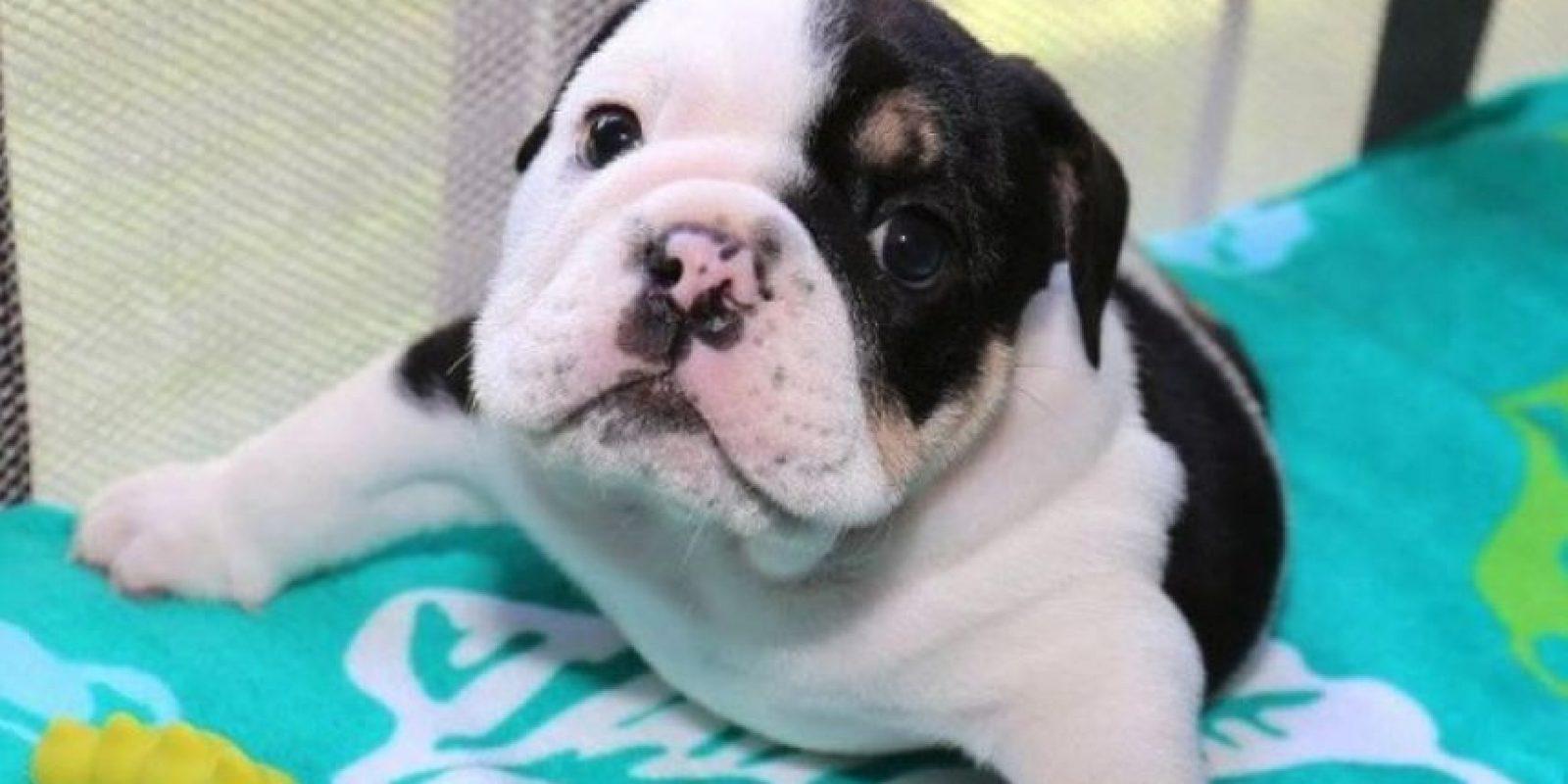 """Nació con una enfermedad congénita llamada el """"Síndrome de Cachorro Nadador"""", que deja al perro con extremidades muy débiles y sin poder moverse. Foto:Facebook.com/HalfABulldogTwiceTheLove"""