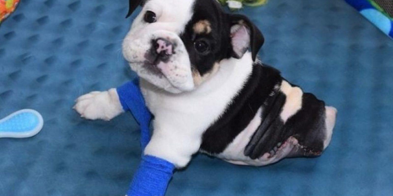 1. Este perrito que solo tiene la mitad de su cuerpo los conmoverá enteramente Foto:Facebook.com/HalfABulldogTwiceTheLove