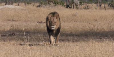 Él era Cecil, un león que era famoso en Zimbawe, pero ahora es famoso a nivel mundial por su cruel muerte. Foto:vía Youtube