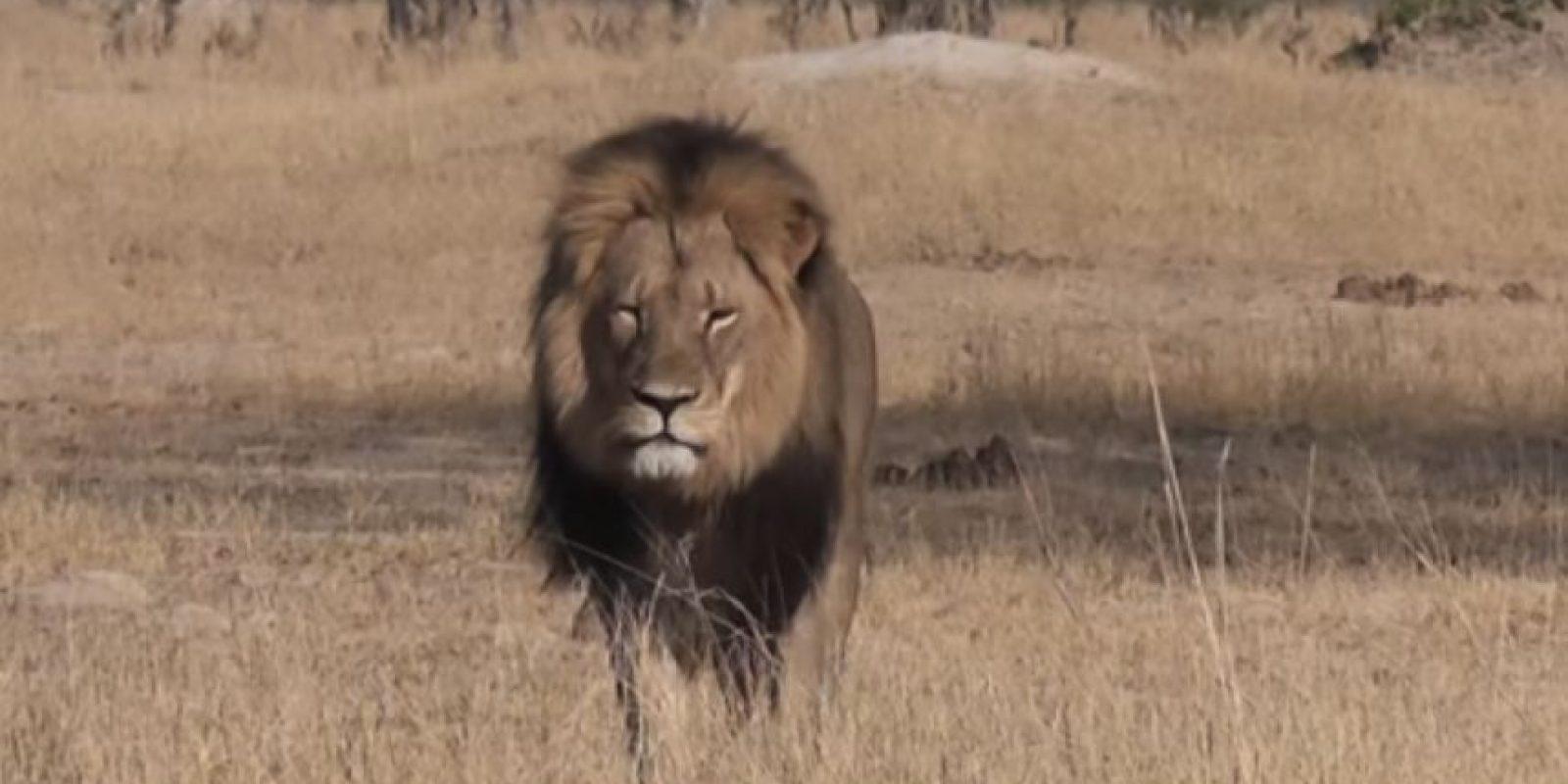 Le ponen fotos de Cecil. Foto:vía Youtube