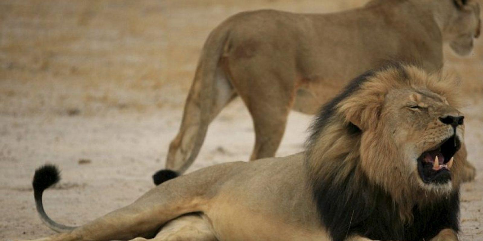 Y de otros leones muertos. Foto:vía Youtube