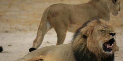 Cecil, cercado, cazado y luego decapitado, se ha hecho famoso precisamente por como murió. Foto:vía AP
