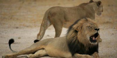 La muerte de Cecil ha conmocionado al mundo. Foto:AFP