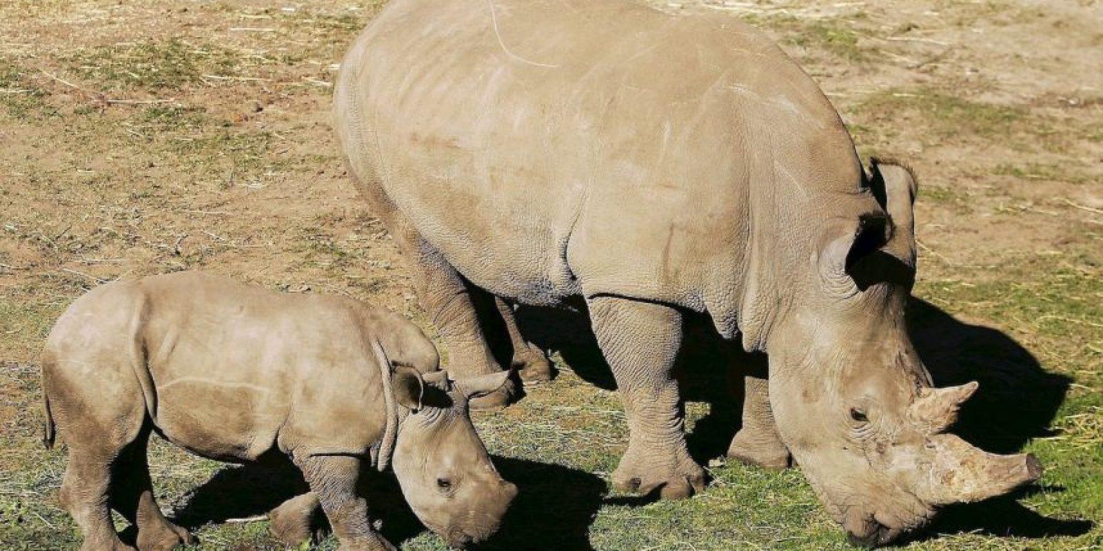 5. Mientras, la otra hembra que queda está en el Zoológico de San Diego, en California, Estados Unidos. Foto:Getty Images