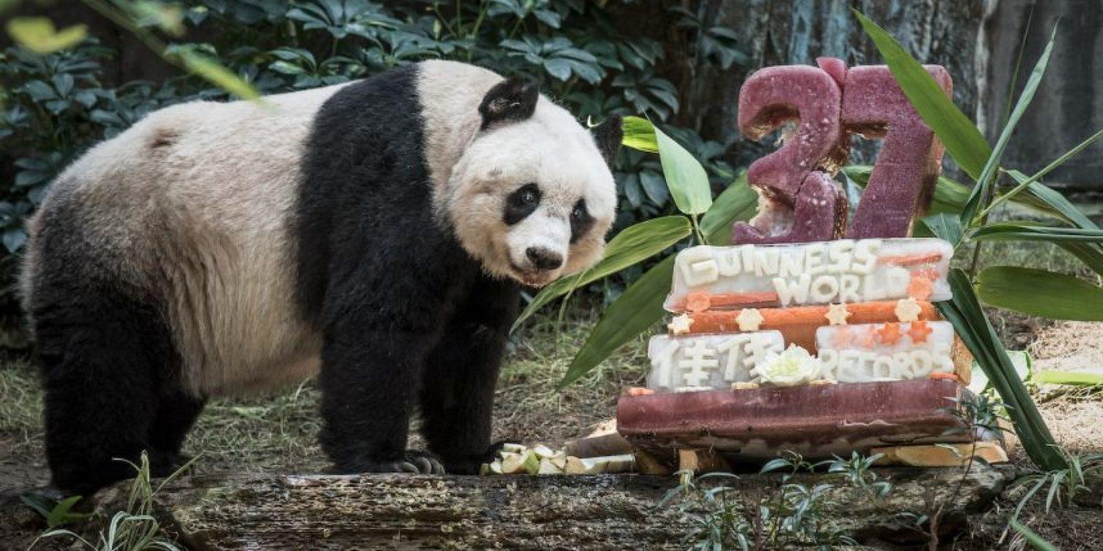 Y también el de la panda más vieja en cautiverio viva. Foto:AFP