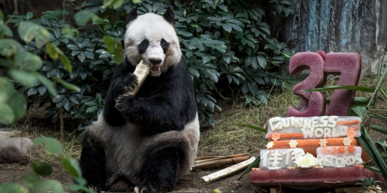 Jia Jia rompió el récord de la panda más vieja en cautiverio. Foto:AFP