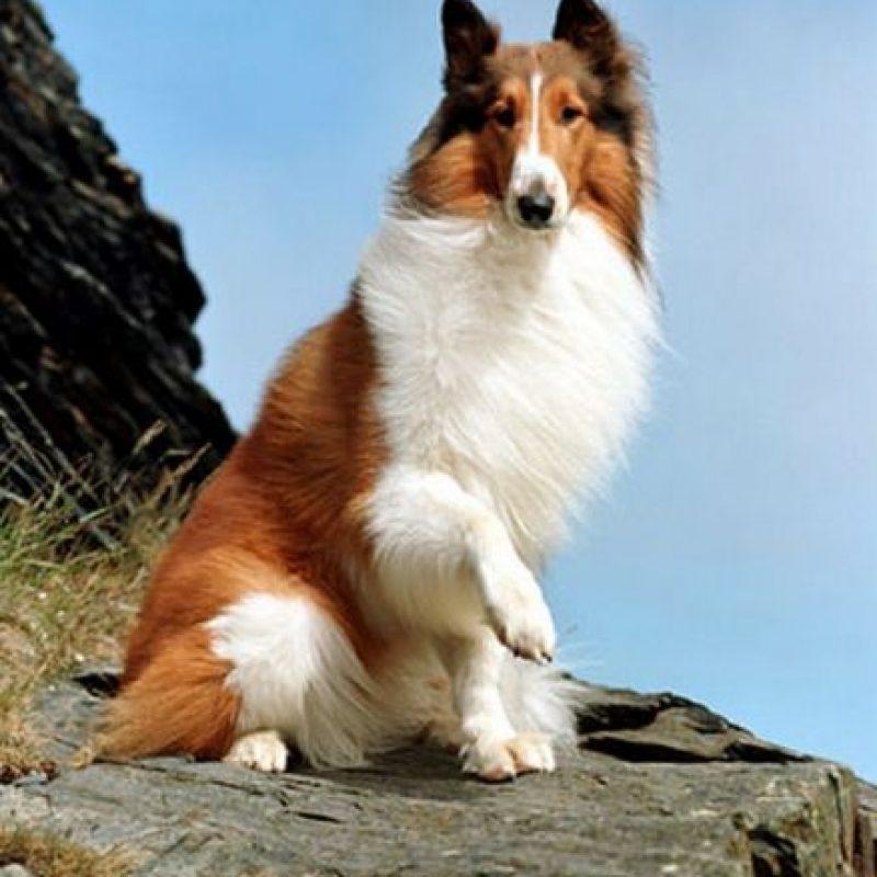 Lassie. La famosa perra que en realidad era macho fue sometido a largas horas de trabajo Foto:Pinterest