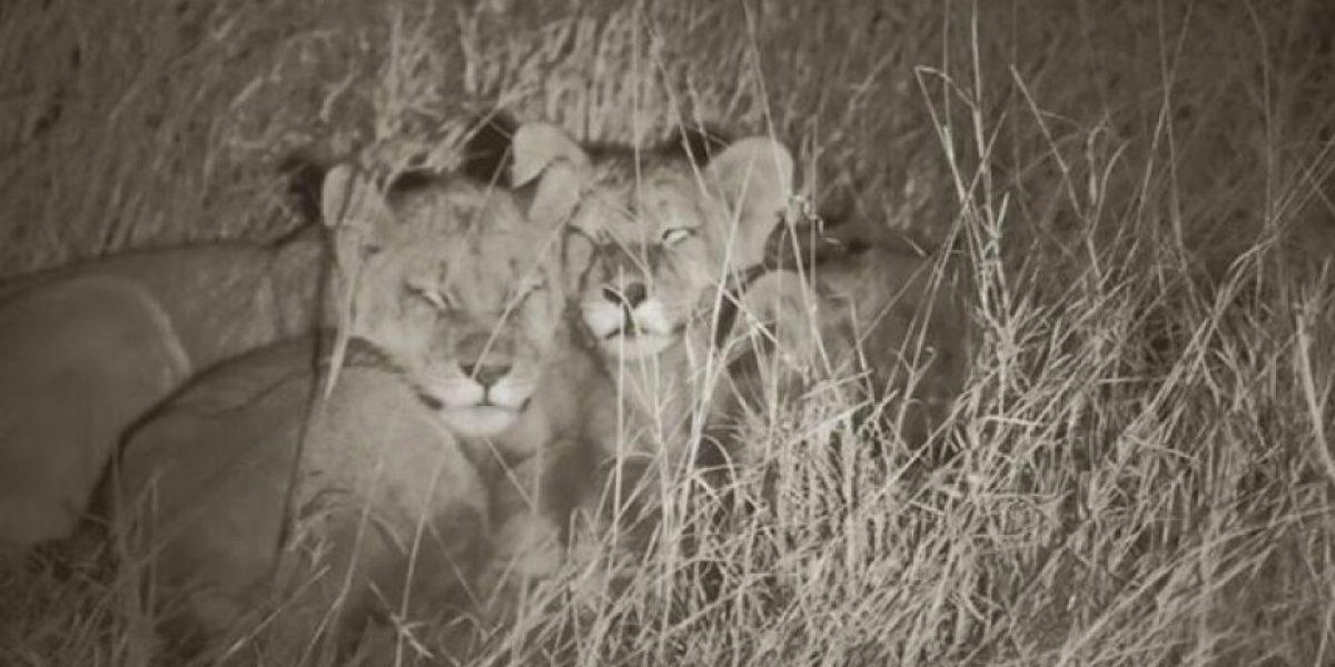Así sobreviven los cachorros del león