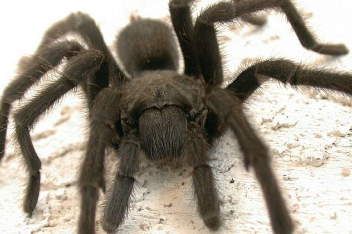 Estas arañas también podrían causarles terror. Foto:Pinterest