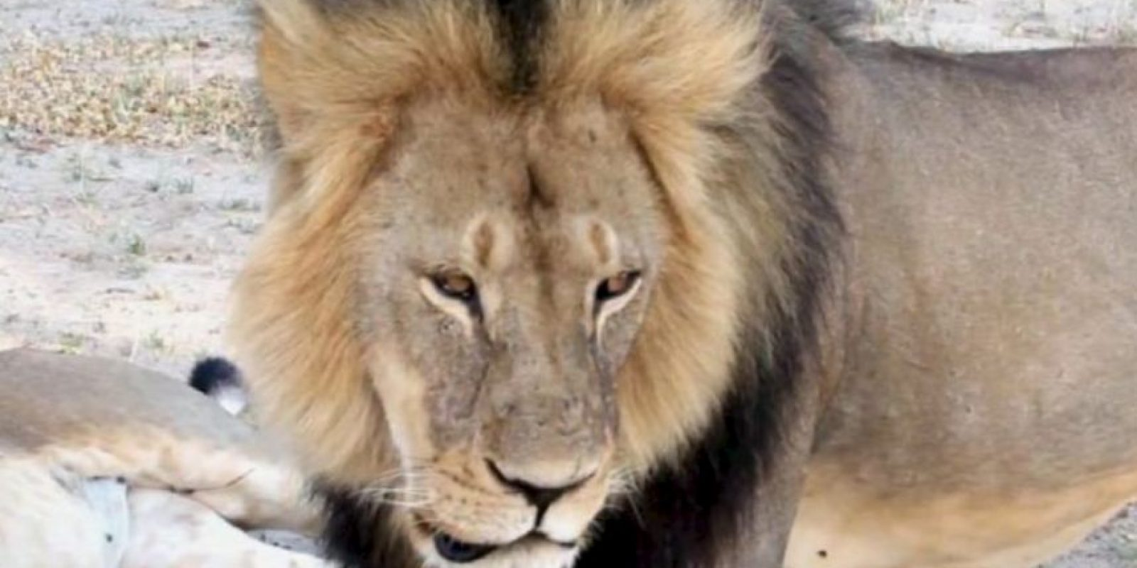Se pide la extradición del cazador. Foto:vía AFP